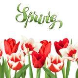 Frontera inconsútil con los tulipanes rojos y blancos Flores, brotes y hojas realistas hermosos Imagen de archivo libre de regalías