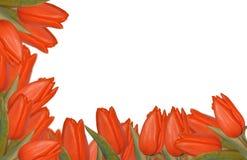 Frontera roja de los tulipanes Fotos de archivo libres de regalías