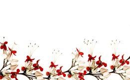 Frontera roja y negra de la flor de mariposa Fotografía de archivo