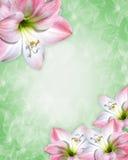 Frontera rosada de las flores del Amaryllis Imagen de archivo