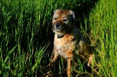 Frontera Terrier Imagen de archivo