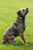 Frontera Terrier Foto de archivo