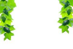 Frontera verde de la hiedra Fotos de archivo libres de regalías