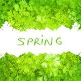 Frontera verde fresca del perejil Imagen de archivo