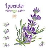 Frontera y elementos festivos determinados con las flores de la lavanda para la tarjeta de felicitación Ejemplo botánico Imagenes de archivo