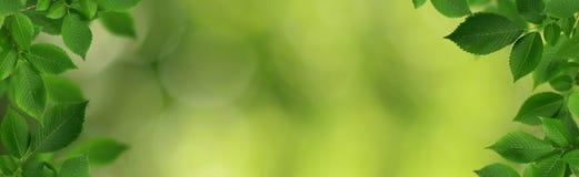 Fronteras decorativas con las hojas verdes frescas del olmo-árbol Imagenes de archivo