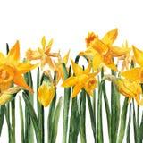 Frontière avec le narcisse de jaune d'aquarelle Images stock