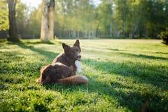 Frontière brune heureuse de chien Photo libre de droits