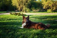 Frontière brune heureuse de chien Images stock