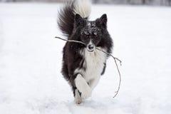 Frontière Collie Dog et branche d'arbre dans la bouche Fonctionnement et jouer Portrait photo libre de droits