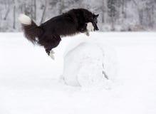 Frontière Collie Dog Jump au-dessus de la boule de neige image libre de droits