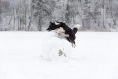 Frontière Collie Dog Jump au-dessus de la boule de neige L'hiver photo libre de droits