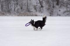 Frontière Collie Dog Running sur la neige et jouer avec le jouet photographie stock