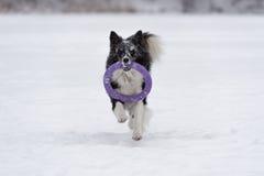 Frontière Collie Dog Running sur la neige et jouer avec le jouet photos stock