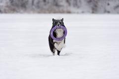 Frontière Collie Dog Running sur la neige et jouer avec le jouet photo libre de droits