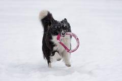 Frontière Collie Dog Running sur la neige et jouer avec le jouet image libre de droits