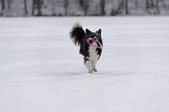Frontière Collie Dog Running sur la neige et jouer avec le jouet image stock