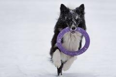 Frontière Collie Dog Running sur la neige et jouer avec le jouet Portrait photographie stock