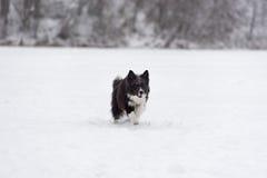 Frontière Collie Dog Running sur la neige Fond de l'hiver photo libre de droits