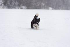 Frontière Collie Dog Running sur la neige Lac figé photographie stock libre de droits