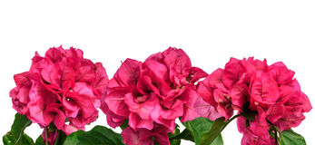 Frontière d'isolement par fleurs roses d'été Images stock