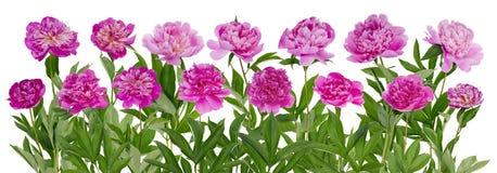 Frontière d'isolement par pivoines roses Photos stock