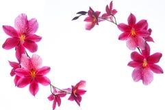 Frontière d'orchidée d'isolement sur un fond blanc Photographie stock libre de droits
