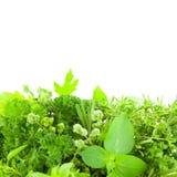 Frontière de différentes herbes fraîches d'épice d'isolement Image libre de droits