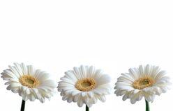 Frontière de marguerites blanches image libre de droits