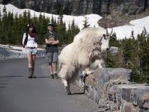 Frontière de sécurité de pierre de croisement de chèvre sauvage près de route Photographie stock