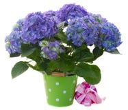 Frontière des fleurs bleues de hortensia Photo libre de droits
