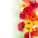 Frontière des fleurs de herbera de jardin Photos libres de droits