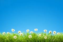 Frontière des marguerites douces dans l'herbe verte avec le ciel bleu clair Photos stock