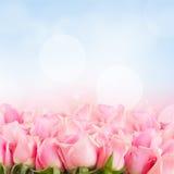 Frontière des roses roses de jardin Photographie stock