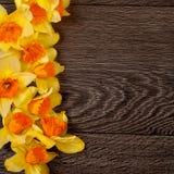 Frontière jaune de narcisse sur le fond en bois Images libres de droits