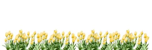 Frontière jaune de tulipes images libres de droits