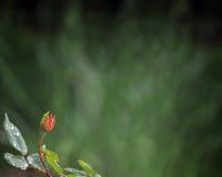 Frontière minuscule de bouton de rose Image libre de droits
