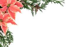 Frontière rose de poinsettia Photos libres de droits