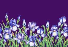 Frontière sans couture florale avec fleurir les iris bleus, sur le fond violet Illustr tiré par la main d'isolement de peinture d illustration libre de droits