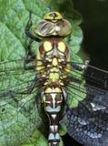 Fronti della libellula fotografie stock libere da diritti
