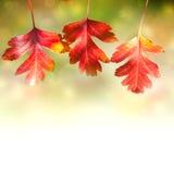 Frontière des feuilles colorées d'Autumn Red sur le fond blanc Photos libres de droits