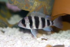 Frontosa Cichlid Royalty Free Stock Images