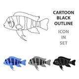 Frontosa Cichlid Cyphotilapia Frontosa fish icon cartoon. Singe aquarium fish icon from the sea,ocean life cartoon. Frontosa Cichlid Cyphotilapia Frontosa fish Stock Image