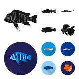 Frontosa, cichlid, phractocephalus hemioliopterus.Fish set collection icons in black, flat style vector symbol stock. Illustration Royalty Free Stock Photo