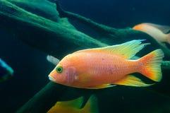 Frontosa cichlidfisk, Cyphotilapia frontosa Royaltyfri Foto
