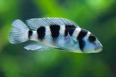 Frontosa Cyphotilapia frontosa. Juvenile fish. Royalty Free Stock Photography