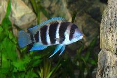 Frontosa Fische im Aquarium lizenzfreie stockbilder