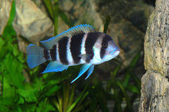 Frontosa fish in aquarium Royalty Free Stock Images