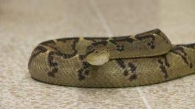 Frontowa głowa | Coiled Bushmaster wąż, Costa Rica zdjęcie wideo