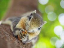 Frontowa twarz wiewiórka na drzewa łasowania fasolach Ja ` s mały i śliczny zdjęcie stock